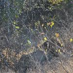 Can you spot him-Lion-Fifth of the big five!