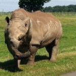 fat hippo
