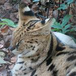 Sleepy Serval.