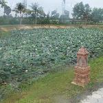 Lotus covered ponds
