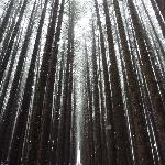 Snowfall in the sugar pine forrest