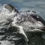 Pacific White sided Dolphin -photo tour