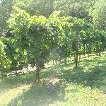 Grapes on the south slope