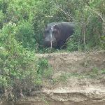 Hippo seen from the boat cruise