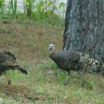 Wild turkey visitors!