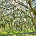 Historic Live Oak Trees