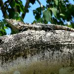 Iguana that lives in the tree above the pool