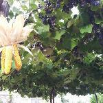 Il pergolato con mais e uva fragola