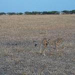 Cheetah with Sabora Camp in Background (they get close!)