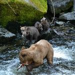 Grizzly + 4 cubs - a real treat!!