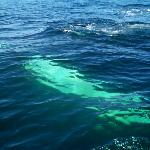 The coolest thing ever! Underbelly of the whale swimming away from the boat!