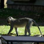 Vervet monkeys at the lodge