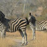 Zebras encountered on the bush walk