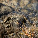A cape buffalo