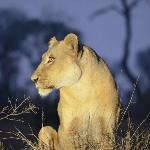 A beautiful lioness we came across, where we were about 5 feet away!