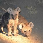 Hyena pups!