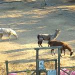 Glendeven's llamas!