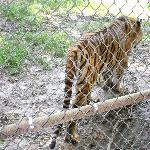 Skinny Tiger