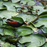 Northern Jacana close to our casita