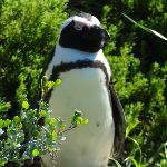 A cape penguin