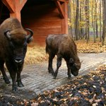 European Bison Reservation