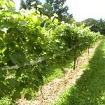 Nickle Creek Vineyard Image
