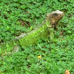 Friendly Iguana