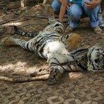 Tiger Temple ( Wat Pa luang Ta Bua)