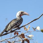 Hornbill on the way to breakfast