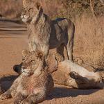 We hebben negen leeuwen gezien