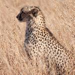 een paar minuten later heeft deze cheetah een impala gevangen