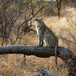 Lovely leopard (Nthombi)