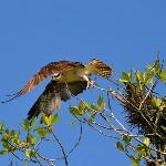 Osprey at the Rio Esquinas