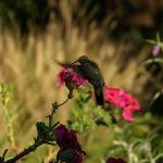 a hummingbird in the gardens