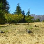 can you spot the deer in between the wild turkeys?