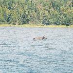 Moose in Isle Royale National Park - Michigan