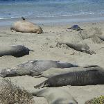 elephant seals on the beach in San Simeon (20 minute drive north)