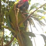 Paolo - the great green macaw eating Titor