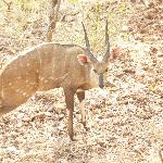 Bushbuck ram from room