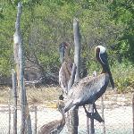Pelicans :-)