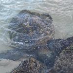 Sea turtle eating breakfast at sunrise on Napili Beach