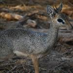 Dik Dik - cutest little creatures