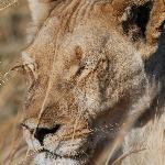 momma lion