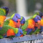 Lorikeets on the pool fence first thing in the morning