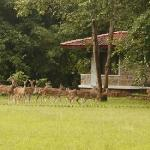 Chital in front of cottage at RTR
