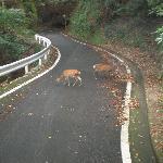 林道に出てきた屋久鹿の群れ