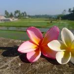 Frangipani overlooking rice paddies