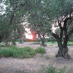 tramonto nell'oliveto dell'azienda