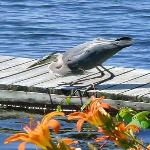 George the Blue Heron Looking for Fish