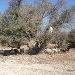 arbre argan